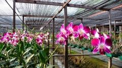 bangkok-orchideenfarm